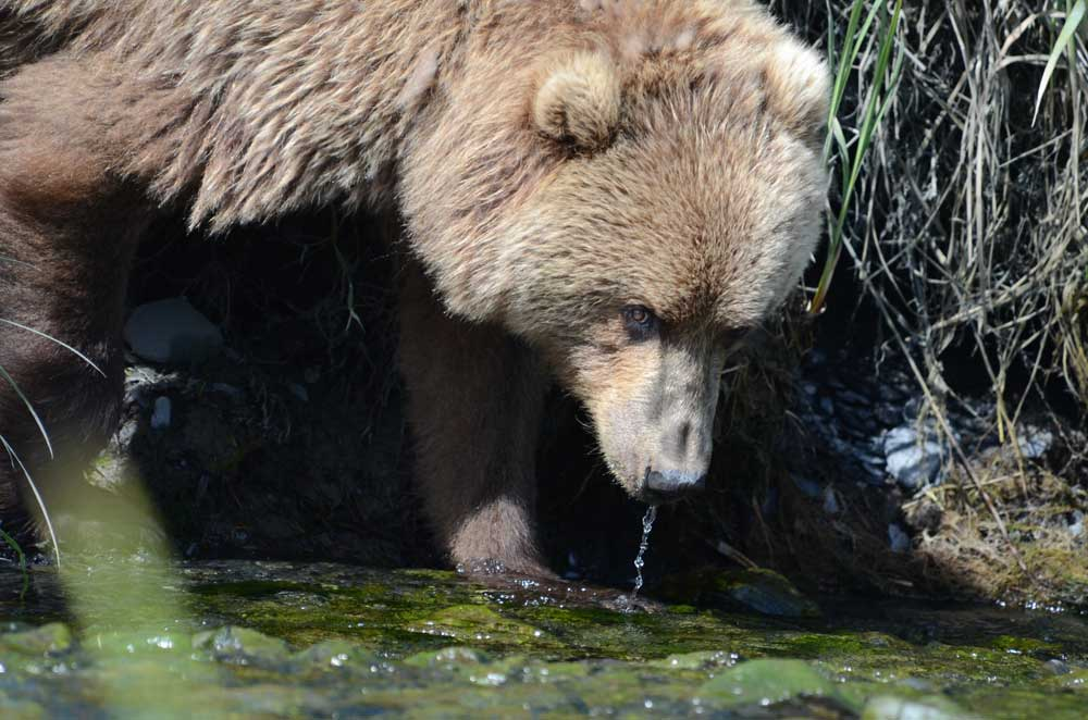 Bear Drinking Water
