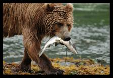 Kodiak Bear with Salmon
