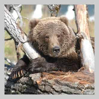 DENNING And HIBERNATION REPRODUCTION GROWTH INTELLIGENCE COMMUNICATION KODIAK BEAR RESEARCH HISTORY OF HUMANS AND BEARS MANAGEMENT